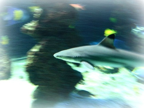 Young black tip reef shark